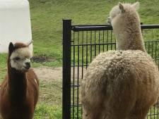 Grote drukte verwacht bij huwelijk 'hevig verliefde' alpaca's
