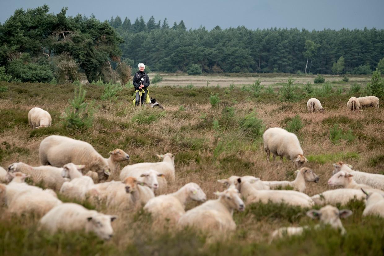 Een schaapherder op de Soerendonkse Heide.  Beeld Merlin Daleman