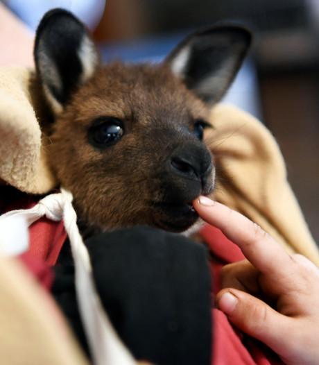Australische politie arresteert tiener die kangoeroe doodsloeg