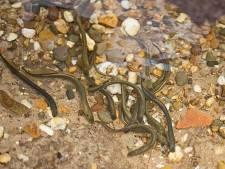 Honderden vissen dood door chloorwater in Osink-Bemersbeek