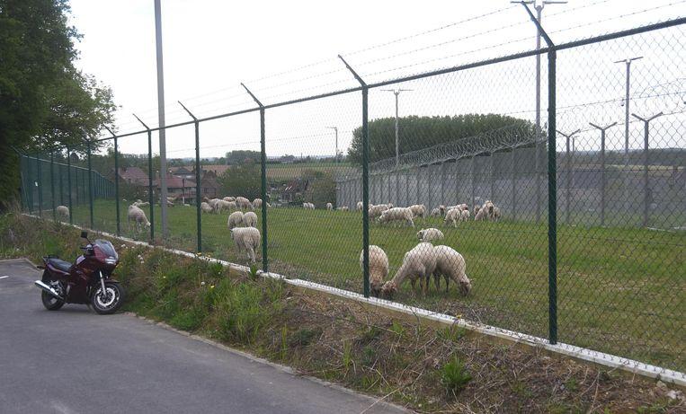 Het gras tussen de twee omheiningen van de basis wordt afgegrazen door zo'n honderd schapen.