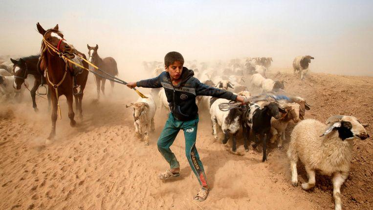 Een Iraakse jongen probeert het vee van zijn familie in veiligheid te brengen in een dorp in de buurt van Mosul. Beeld reuters