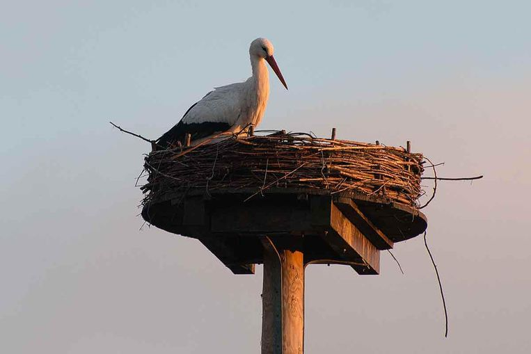 Manke Nelis op nest. Beeld Paul Koene