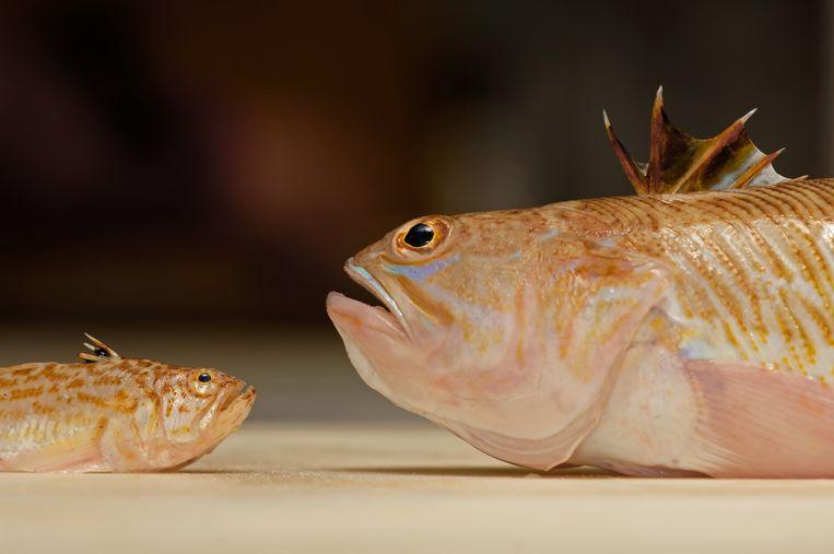 De grote pieterman met zijn broertje, de kleine pieterman. Het visje kan strandgangers stevig pijn doen wanneer verstopt onder het zand.