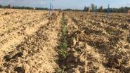 """Kweken onze boeren binnenkort quinoa op hun velden? """"Een alternatief gewas dat goed tegen droogte kan"""""""