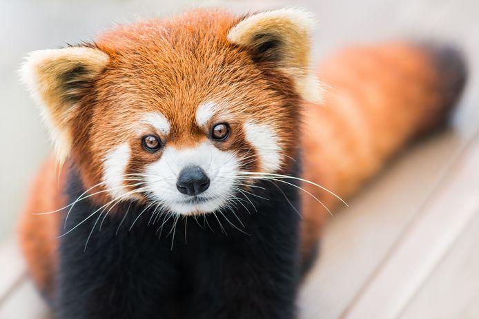 De rode panda ziet er schattig uit, maar schijn bedriegt.