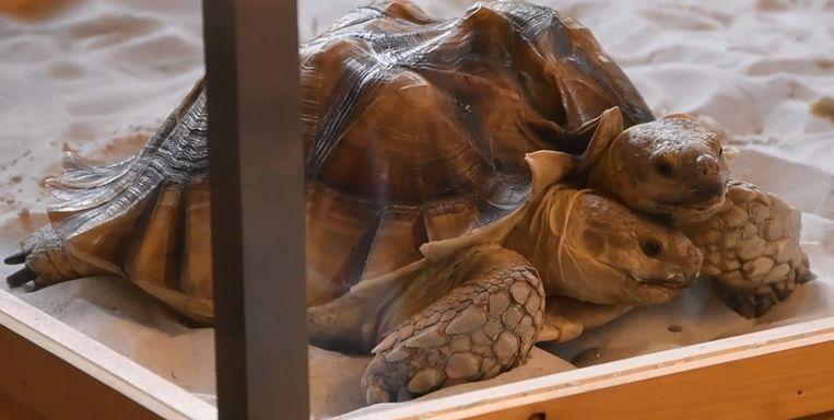 Weyts Zet Tweekoppige Schildpad In De Bloemetjes Binnenland