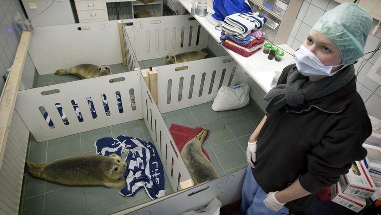 De opvang is overvol. Op alle mogelijke plekken vinden de zeehonden onderdak. © ANP Beeld