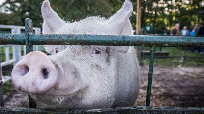 Aantal Limburgse varkensboeren is in zeven jaar met  37% gedaald