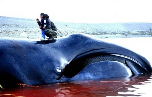 Een Groenlandse walvis in Canada in 2012