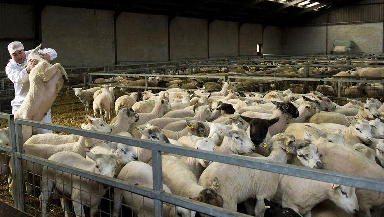 In een slachthuis in Dodewaard worden schapen op rituele wijze geslacht voor het Islamitische Offerfeest. Beeld ANP