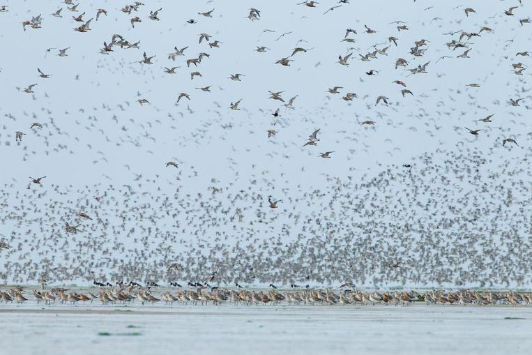 Werelderfgoed Waddenzee is vooral voor vogels van belang. Beeld TR beeld