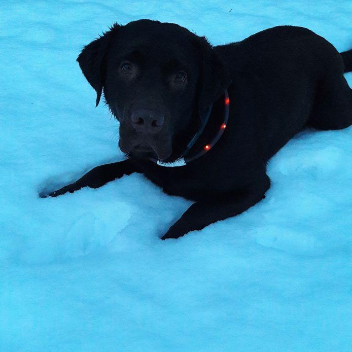 Hond Boris van de familie Klaassen uit Zevenaar speelt voor het eerst in de sneeuw. 'En lekker dat hij het vindt',  laat Angelique Klaassen weten.