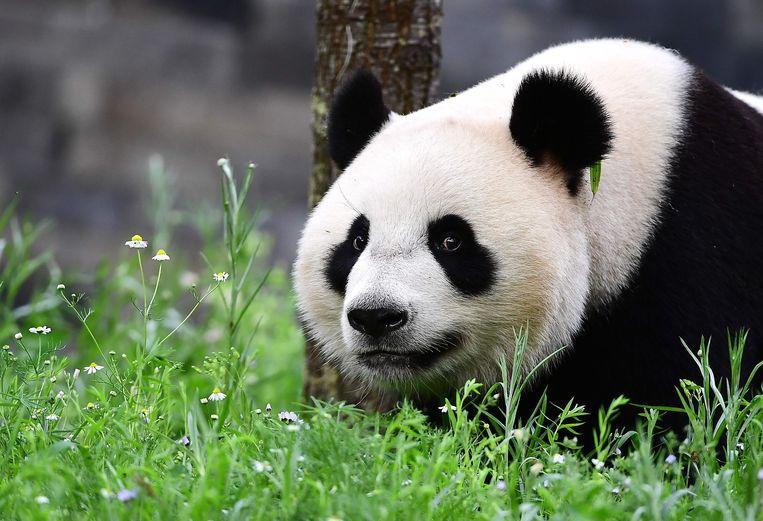 Panda Wu Wen. Beeld Anp