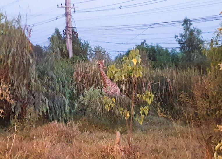 De giraf die gisteren de benen nam in Thailand is dood teruggevonden.