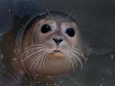 Zeehondenopvang Stellendam heropent met expositie