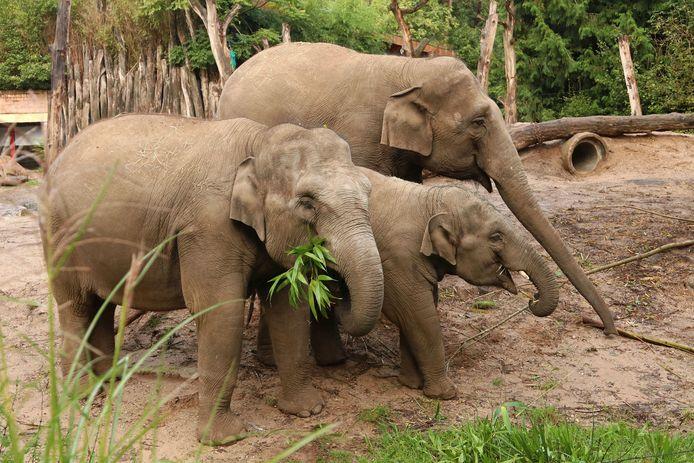 Drie van de olifanten uit DierenPark Amersfoort. Van voor naar achter: Kina, Thabo en Indra.