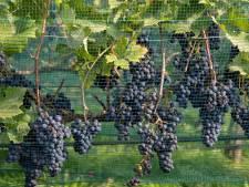 Oogsttijd in de Vallei: de verhouding zoet en zuur bepaalt de kwaliteit van de wijn
