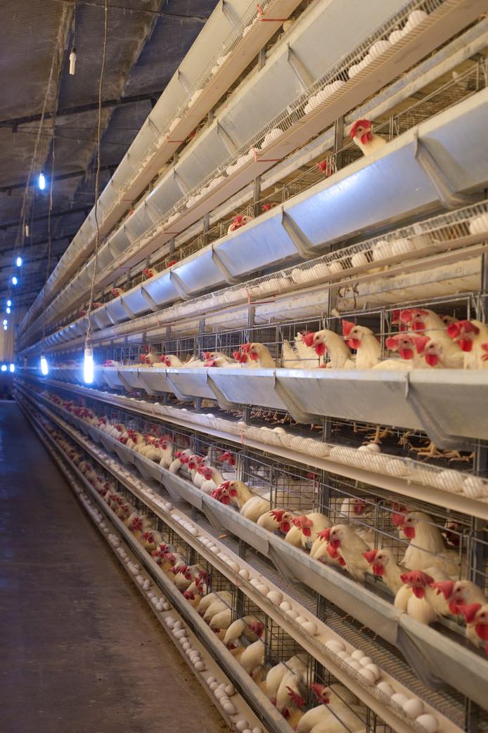 Verlichting in schuur met kippen.