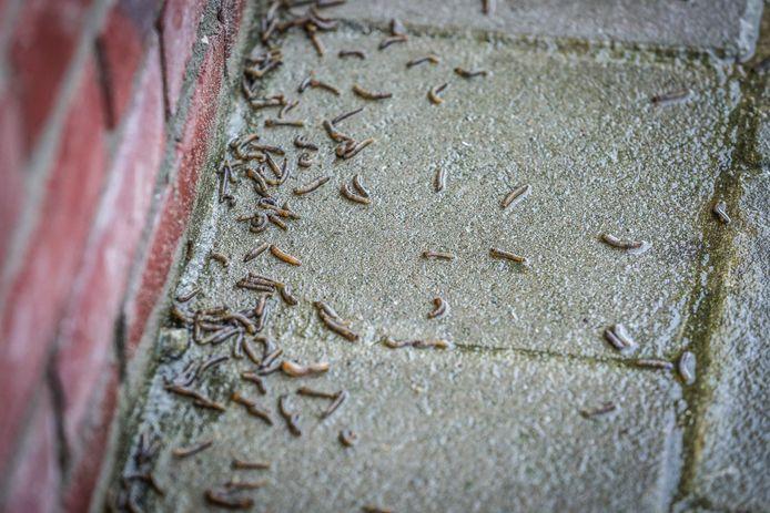 In Assebroek is er een plaag van emelten.