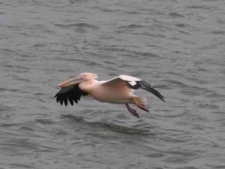Bijzonder beeld: roze pelikaan duikt op tussen ooievaars in de buurt van Meppel
