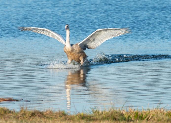 Een jonge knobbelzwaan zet de landing in op het water ('t Goor in Soerendonk).