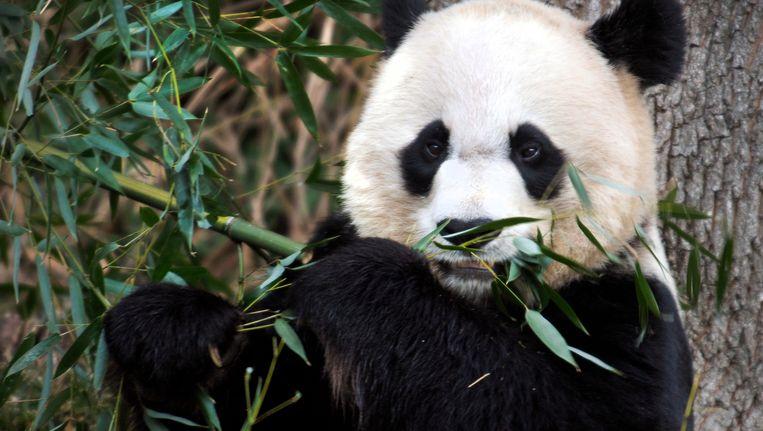 Reuzenpanda Mei Xiang. Beeld AP