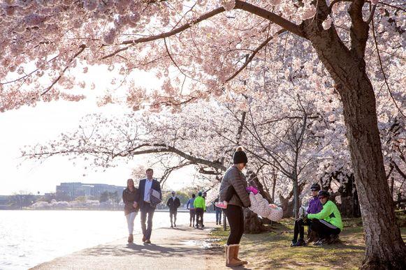 Alle toeristische trekpleisters in de Amerikaanse hoofdstad Washington DC zijn gesloten. De kerselaars staan echter in bloei. Het leidde er zondag toe dat heel wat wandelaars opdaagden en het vertikten om thuis te blijven.