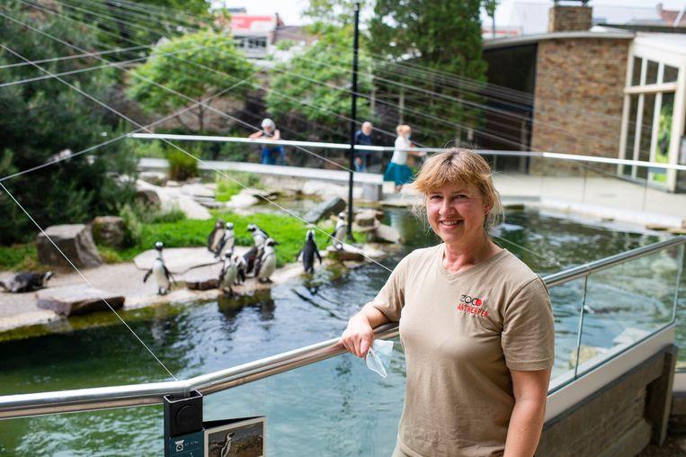 Verzorger Heidi bij de zwartvoetpinguïns in de Antwerpse zoo.