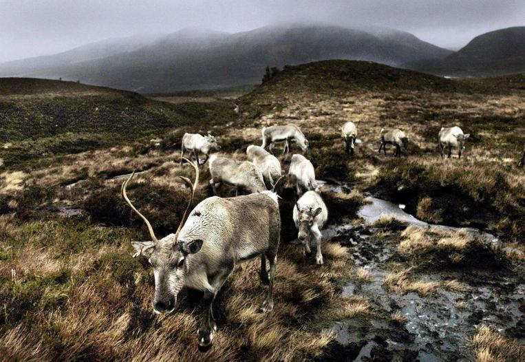 Rendieren in de Schotse Hooglanden Beeld epa