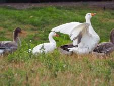 Vangpoging mislukt, maar 'dikke ganzen' hebben plek