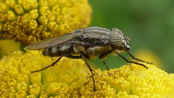 Een vrouwtjesexemplaar op boerenwormkruid.