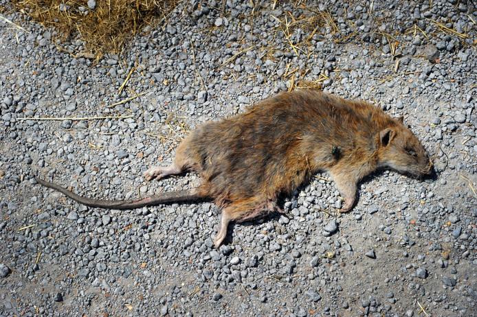 Ter illustratie: een dode rat.