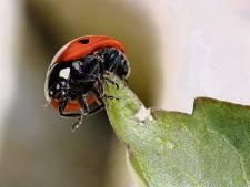 Lieveheersbeestje in strijd tegen bladluis in Tholen