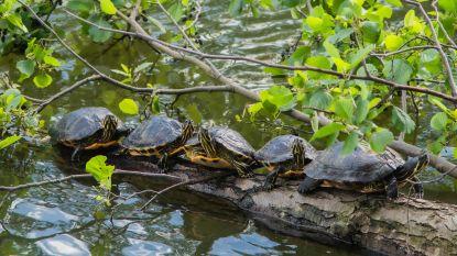 Zonnende exotische waterschildpadden in Brusselse Forten zijn attractie, maar krijgen nieuw onderkomen