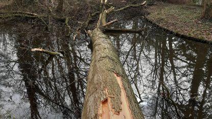 Gigantische eik valt om: deel park van Breivelde afgesloten