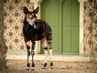 Antwerpse ZOO treurt om verlies van okapi Bondo