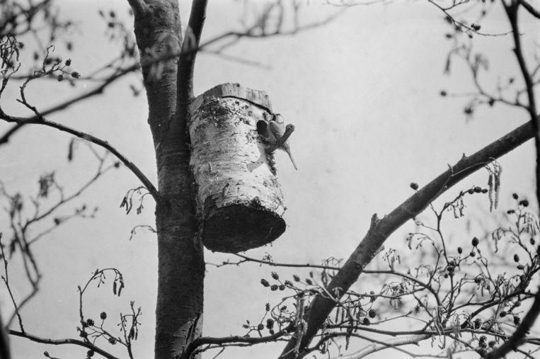 Een koolmees bouwt aan zijn nest. Beeld anp