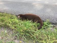 Waar zijn de jongen van deze dode ottermoeder? Boswachter: 'Als we ze niet snel vinden, gaan ze dood'