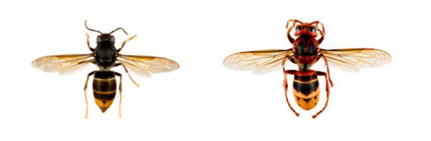 Links de geelpotige (Aziatische) hoornaar, rechts de Europese hoornaar