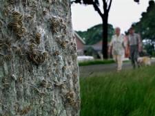 Hardenberg helpt tuineigenaren in strijd tegen eikenprocessierups: 'Plaag moet in 2020 onder controle'