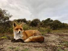 'Stop alsjeblieft met vossen voeren'