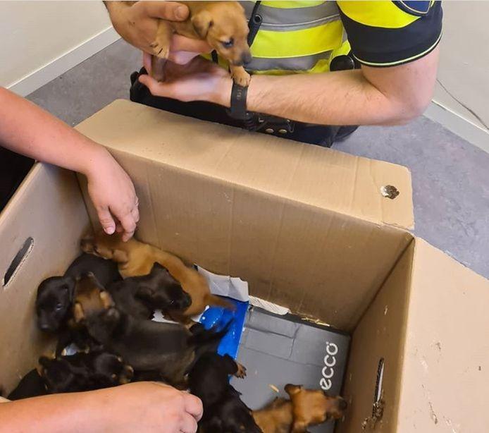 Tien gestolen puppy's werden aangetroffen in de gemeente Heusden.
