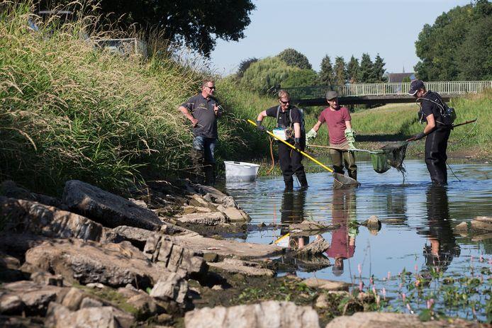 Mensen van de Hengelsportfederatie redden vissen uit de drooggevallen Boven Slinge in Bredevoort.