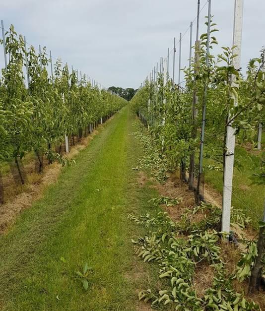 De fruitboomgaard in Horssen. Rechts de doorgezaagde boompjes.