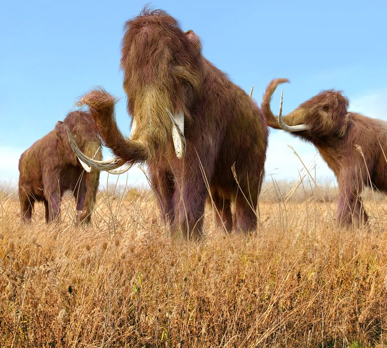 De overblijfselen van deze wolharige mammoet werden gevonden van Ierland tot in de oostkust van Noord-Amerika.