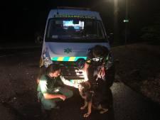 Heterense hond ontsnapt en steekt Rijn over naar Doorwerth