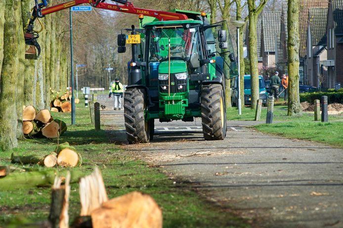 Begin maart kapte de gemeente Boekel nog 26 lindebomen aan de Biezen te Venhorst.