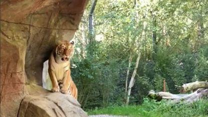 """Siberische tijgerin Irina mag blijven leven na dood verzorgster: """"Ze heeft zich volkomen natuurlijk gedragen"""""""
