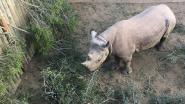 Zes zwarte neushoorns moeten neushoornpopulatie in Tsjaad nieuw leven inblazen